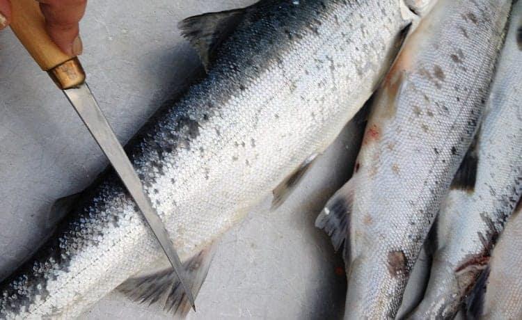 salmon anal fins